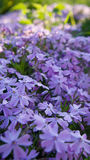 Phlox shelovidny macro. Stock Photography