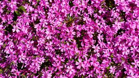 Phlox styloid floral background Stock Photography