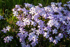 Phlox subulat. The small, five-petaled flowers bloom in late spring to early summer Royalty Free Stock Image