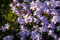 Phlox subulat. The small, five-petaled flowers bloom in late spring to early summer Stock Image