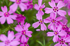 Phlox subulata. Pink beautiful flowers Stock Photos