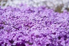 Κλείστε επάνω στο λουλούδι Phlox Subulata Στοκ Εικόνες