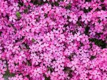 Phlox Subulata Fotos de archivo libres de regalías