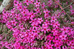 Phlox Subulata beautiful on the background Royalty Free Stock Photo