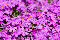 Phlox subulata Royalty Free Stock Image
