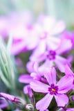 Phlox subulata Stock Image