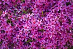 Phlox subulata creeping phlox, moss phlox, moss pink Royalty Free Stock Images