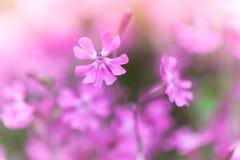 Phlox subulata, Creeping Phlox. Pink flowers Stock Images