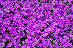 Phlox subulata flowers background Stock Images
