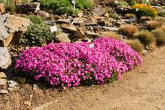 Phlox subulata flowers Royalty Free Stock Images