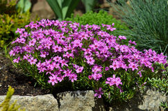 Phlox subulata Stock Photos