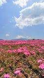 Phlox subulata in pink carpet appearance. Fuji Shibazakura Festival,Fujikawaguchiko,Minamitsuru Yamanashi,Japan Stock Photos