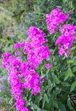 Phlox subulata plants growing in summer park in countryside. Pink flowers of Phlox subulata plants growing in summer park in countryside stock photography