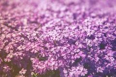 Κλείστε επάνω στο λουλούδι Phlox Subulata (Polemoniaceae), Στοκ Εικόνα