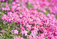 Phlox Subulata - Purple Beauty Stock Image