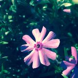 Phlox in the sun Royalty Free Stock Images