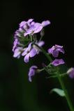 Phlox viola Fotografia Stock Libera da Diritti