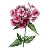 Phlox. On a white background is painted in watercolor, bouquet of pink phlox Royalty Free Stock Photo
