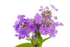 Phloxen violet Image libre de droits