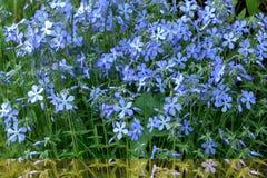 Phloxes. Garden flower. Stock Image
