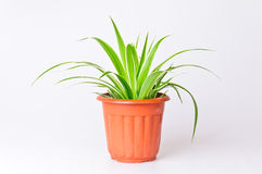 Phnom penh bracketplant. Potted plant bracketplant phnom penh Stock Photography