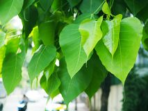 ` Pho ` формы сердца куст лист дерева молодого зеленого буддийский Стоковые Фото