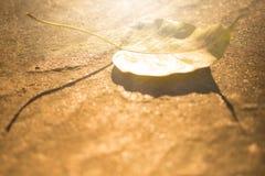 Pho-Blatt aus den Grund und das goldene helle Glänzen in der Sonne Stockfoto