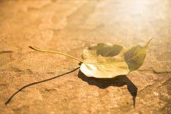 Pho-Blatt aus den Grund und das goldene helle Glänzen in der Sonne Stockfotos