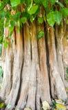 Pho, boom van het Boeddhismesymbool Thaise nationale godsdienst stock foto