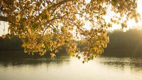 Pho eller Bodhi träd i solskendagen Royaltyfria Bilder