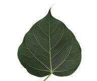 Pho leaf Royalty Free Stock Images
