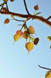 Pho leaf of thailand Stock Photo
