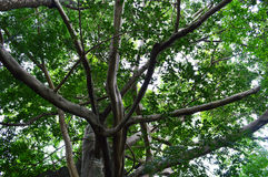 Pho tree Stock Photos
