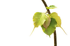 Pho tree leaf isolate white background Royalty Free Stock Photography