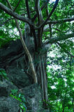 Pho tree On the rocks Royalty Free Stock Images
