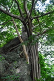 Pho tree On the rocks Stock Photography