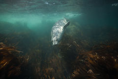 Phoca largha Larga Seal, Spotted Seal. Underwater pictures Stock Image