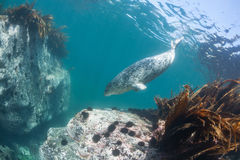 Phoca largha Larga Seal, Spotted Seal. Underwater pictures Stock Photos