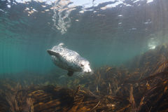 Phoca largha Larga Seal, Spotted Seal. Underwater pictures Stock Images