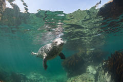 Phoca largha Larga Seal, Spotted Seal. Underwater pictures Stock Photography