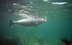 Phoca largha Larga Seal, Spotted Seal. Underwater pictures Royalty Free Stock Photos
