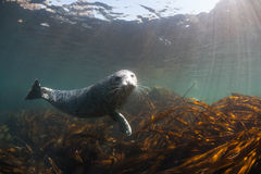 Phoca largha Larga Seal, Spotted Seal. Underwater pictures Stock Photo