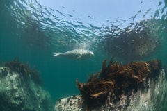 Phoca largha Larga Seal, Spotted Seal. Underwater pictures Royalty Free Stock Photography