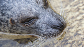 Phoca vitulina, European common seal in the water royalty free stock image