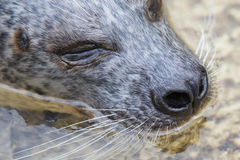Phoca vitulina, European common seal in the water royalty free stock photo