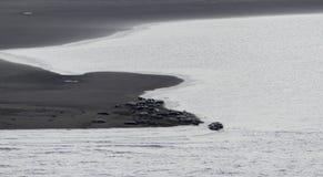 Phoca Vitulina, große Gruppe, die auf dem Strand kühlt lizenzfreies stockfoto