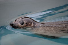 Phoca vitulina seal Stock Photography