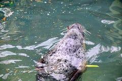Phoca vitulina vitulina Seal Swimming in Water Looking Happy Playing Stock Photo stock photo