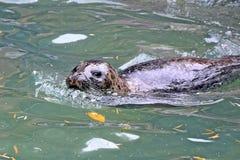 Phoca vitulina vitulina Seal Swimming in Water Looking Happy Playing Stock Photo. Phoca vitulina vitulina Seal Swimming in Water Looking Happy Playing Looking at royalty free stock photos