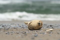 Phocidae La belle nature sauvage de la Mer du Nord l'allemagne photographie stock libre de droits